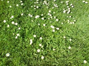 Gänseblümchen Desktop-Hintergrundbild, Daisy Desktop Wallpaper