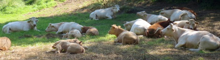 Kühe - süß und schmackhaft