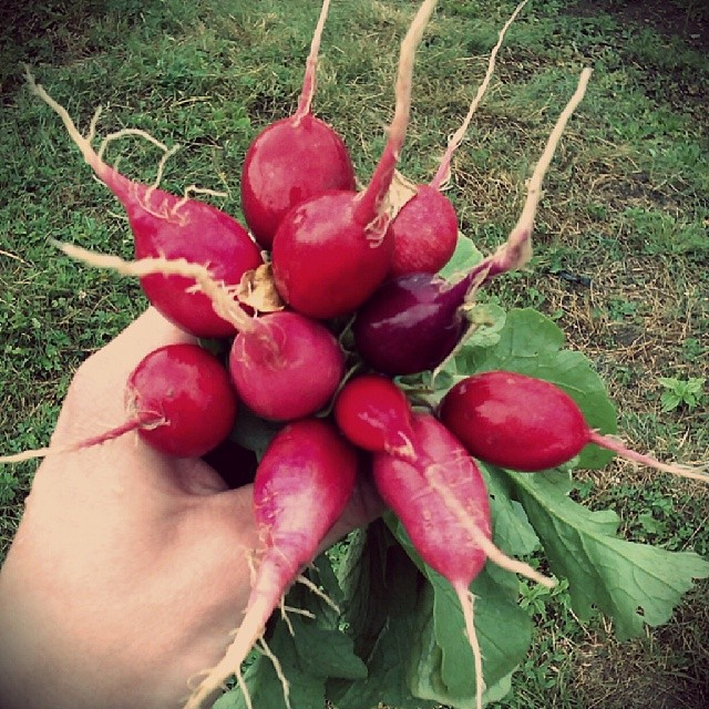 Photo: Bunch of #Radishes #fresh from the #allotment. #vegetables #colourful #colour #red #garden #gardening #crop