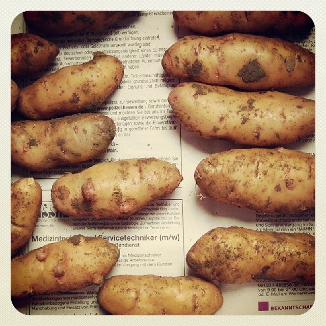 Photo: My first #Bamberg #potatoes. #hörnla #Garten #garden #allotment #green #urbangardenersrepublic