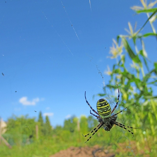 Photo: Say hello to our lodger amidst the #black #salsify in our #allotment: the #wasp #spider. Not easy to capture (on photo) because of the lighter background. #green #garden #urban #farm #nature #urbangardenersrepublic