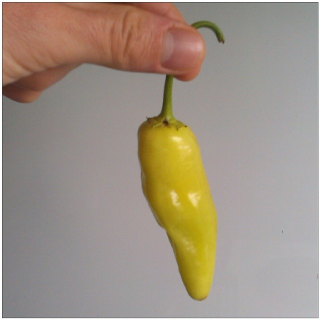 Photo: Does anybody know what kind of chilli this is? #chillies #peppers #pod #green #garden #hot #allotment #spicy