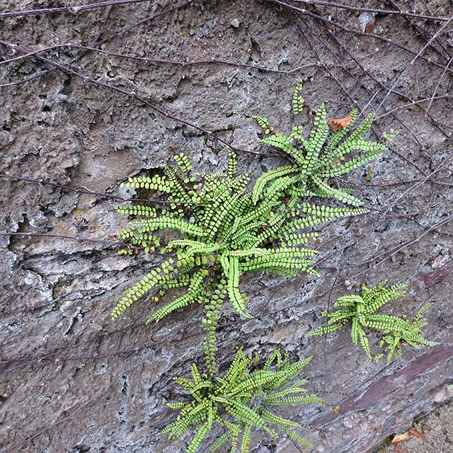 Photo: #Fern in a #wall at #Herrenbrünnchen/#Trier. #nature #urban #green