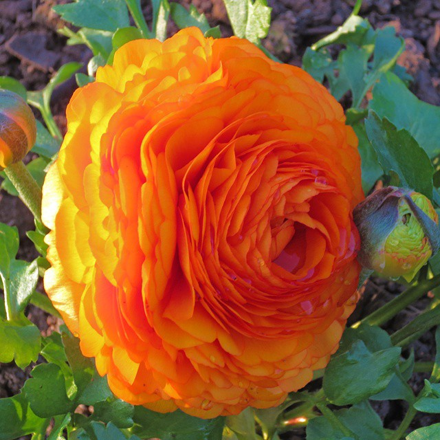 Photo: #Ranunkel #persian #buttercup #Garden #flower #bloom #orange #allotment #spring