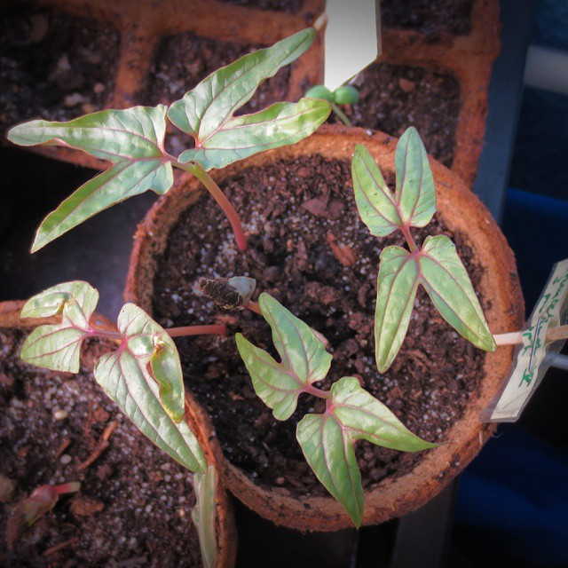 Photo: They do look a bit like these #x-wings from #Star #Wars, my #Ipomoea/#Morning #Glory (SFW) #seedlings. Don't they?