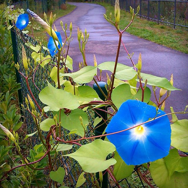 Photo: #Prunkwinde, #Ipomoea, #morningglory. #blue #green #garden #allotment