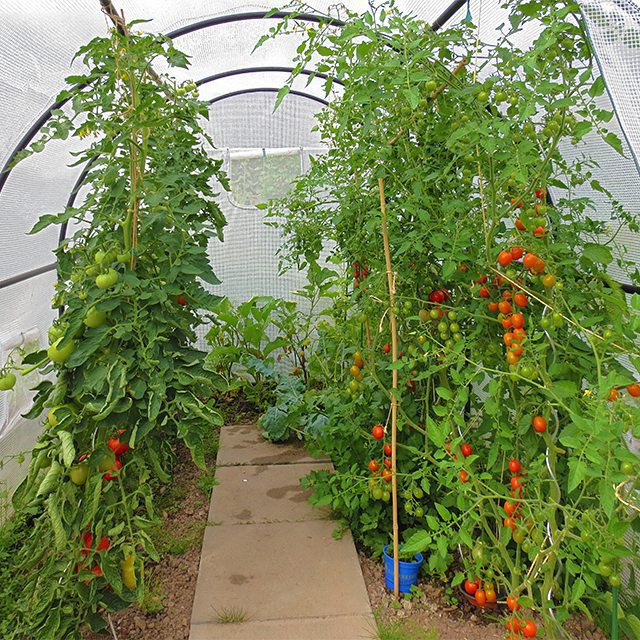 Photo: #Greenhouse with #tomatoes, #eggplant and #celery. #tomato #green #Garden #gardening #veggetables #veggies #urbangardenersrepublic