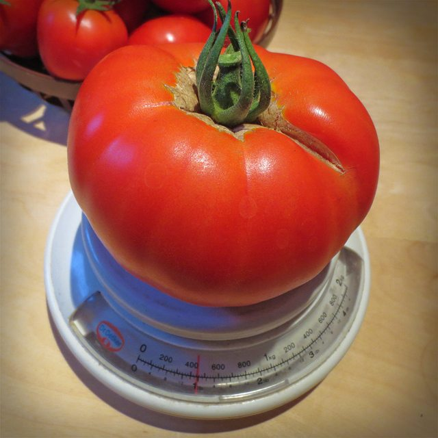 Photo: Biggest #tomatoe from the #allotment so far this year. #red #veggies #urbangardenersrepublic #gardening #tomatoes #food #foodphotography #heavy #veggetables