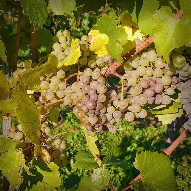 Photo: It's time. #riesling #wine #vine #grapes #trier #mosel #moselle #autumn #fall #harvest