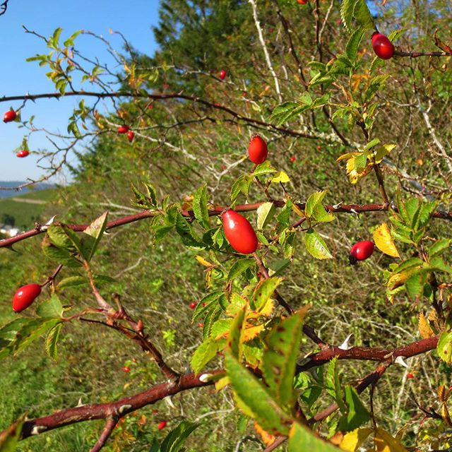Photo: Herbst. #hagebutte #hundsrose #blätter #rot #gelb #autumn #fall #red #leaves #yellow #nature #rose #rosehip #dogrose #Trier