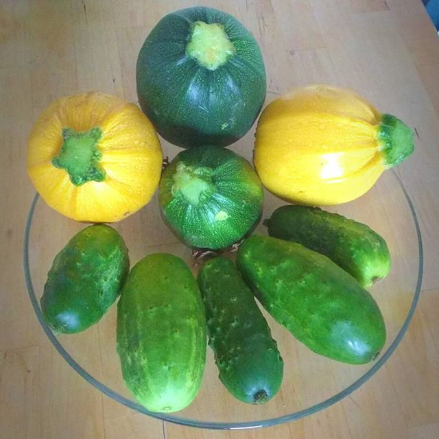 Photo: Today's crop of #yellow and #green #courgette, and #cucumber. #allotment #gardening #organic #Zucchini #veggie #food  #homegrown
