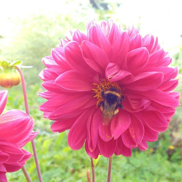 Photo: #bumblebee feasting on the #pink #blossom of a #dahlia plant. #allotment #nature #green #urbangarden