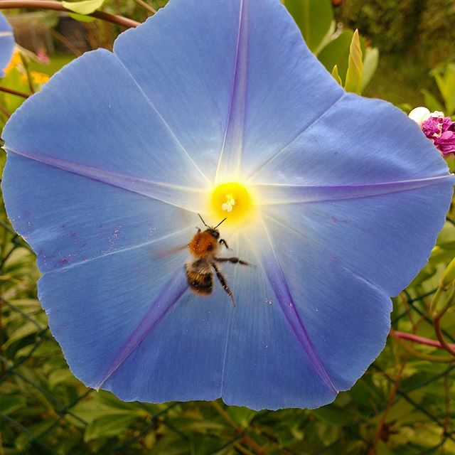 Photo: A #bee is approaching our #ipomoea. #morningglory#bloom#blue#yellow#white#allotment#allotmentlife#mygarden#gardens#urbangarden#flour#floral#flowerpower#flowerstalking#color#nature#summer#petal#flowerstagram#flowerporn#flowerlovers#beautiful