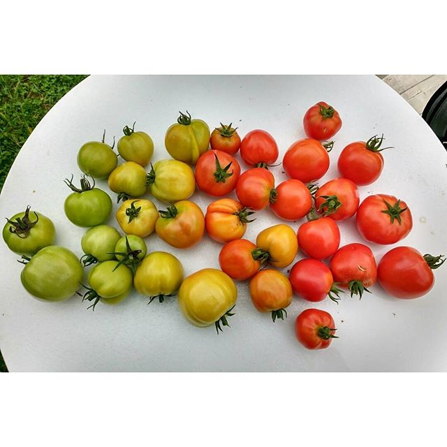 Photo: The very last crop of #tomatoes this year. #allotment #gardening #homegrown #organic #urbangarden #green #red