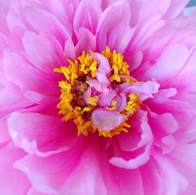 Photo: #Peony #bloom from the front #garden in close-up. #pink #flower