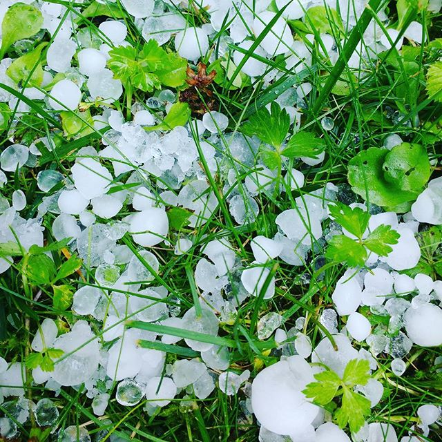 Photo: Bye bye #cucumbers, #courgettes, #rucola, #peaches. #hail #thunderstorm #Ludwigsburg #weather #green #white #grass