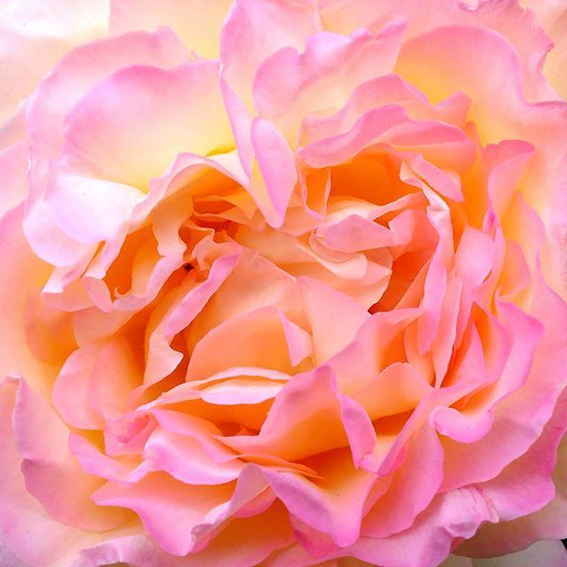 Photo: #Rose. #pink #yellow #bloom #flower #petals #closeup #garden #nature