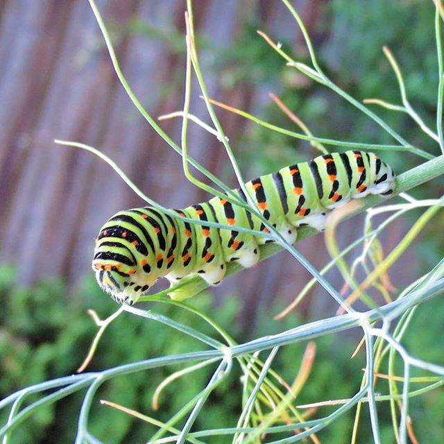 Photo: Look who's eating my #dill. A #caterpillar who wants to become an #oldworldswallowtail some day. Well, guten Appetit, then. #papiliomachaon #schwalbenschwanz  #urbangardening